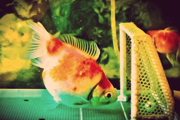 Pesce rosso tuttacronaca for Pesce oranda