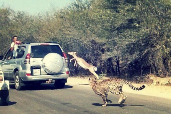 impala-jeep-safari-ghepardi-tuttacronaca