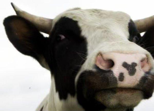 mucca-uccide-uomo-tuttacronaca