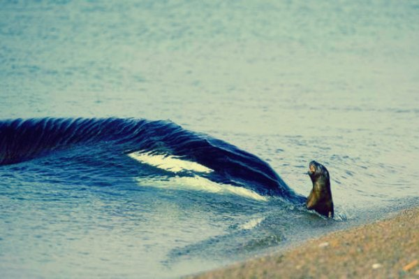 orca-caccia-leoni-marini-galapagos-tuttacronaca