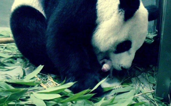 panda-nato-gallery-tuttacronaca-taipei-zoo