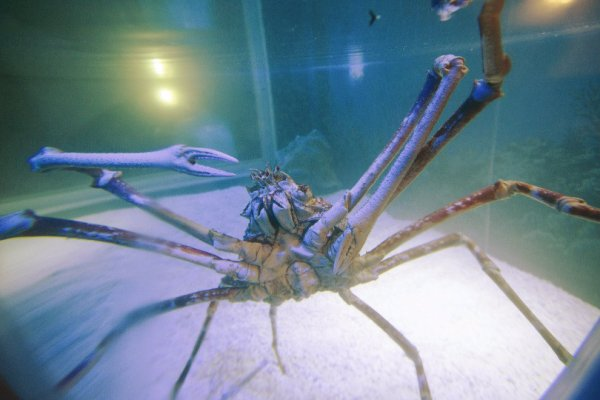 spider-crab-alexander-olanda-tuttacronaca