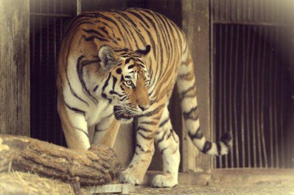 tigre-tuttacronaca
