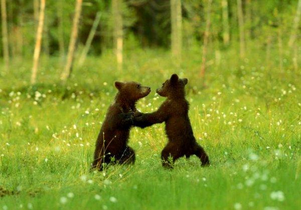 valzer-degli-orsi-tuttacronaca