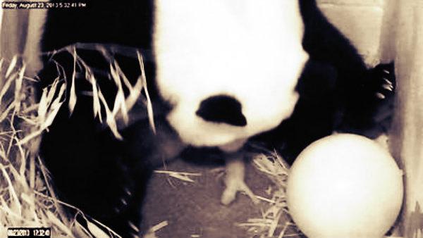baby-panda-washington-zoo-tuttacronaca