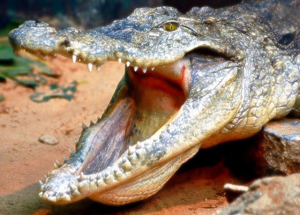 coccodrillo-australia-tuttacronaca