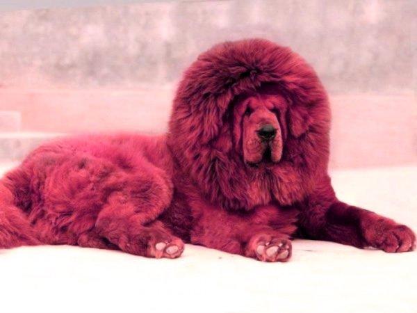 mastino tibetano-tuttacronaca-cina-leone-zoo