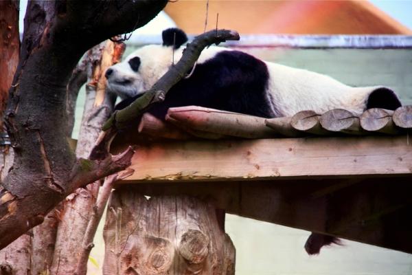 panda-incinta-zoo-edinburgo-tuttacronaca