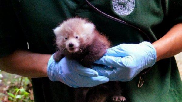 panda-rosso-parigi-tuttacronaca