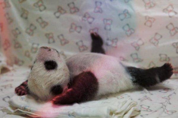 panda-taipei-tuttacronaca