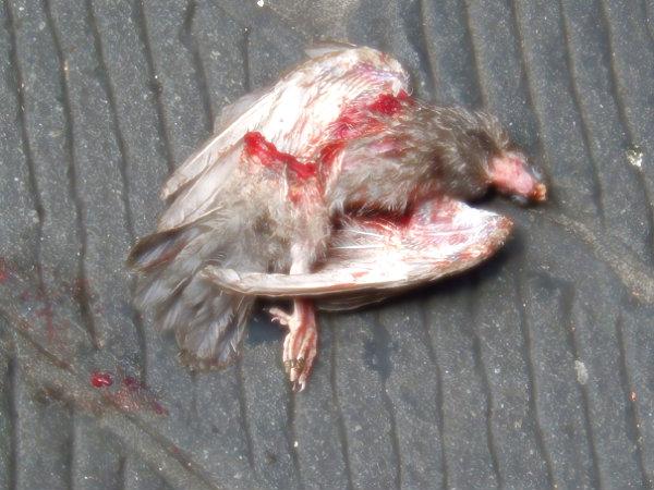 piccione morto-duomo-torino-tuttacronaca