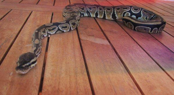 pitone-reale-serpente-bergamasco-tuttacronaca