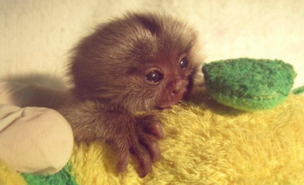 scimmietta-cucciolo-tuttacronaca