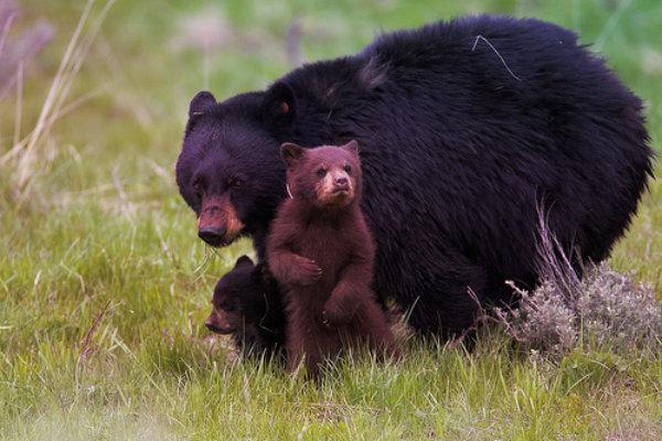 yallowstone-bears-orsi-tuttacronaca