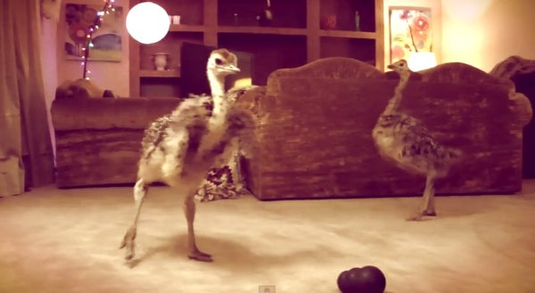 BABY-OSTRICH-DANCE-PARTY-facebook-tuttacronaca