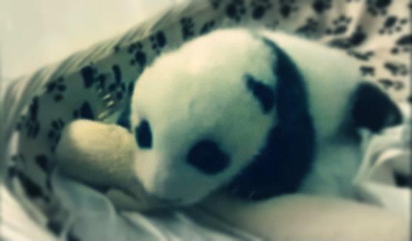 baby-panda-tuttacronaca