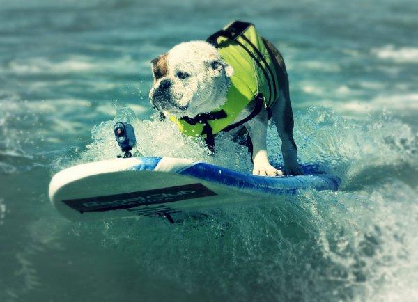 California-cani-sulla-tavola-da-surf-cavalcano-le-onde-tuttacronaca