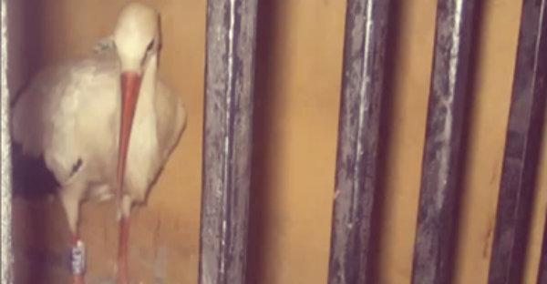 cicogna-imprigionata-egitto-tuttacronaca