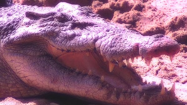coccodrillo-canoista-australia-tuttacronaca