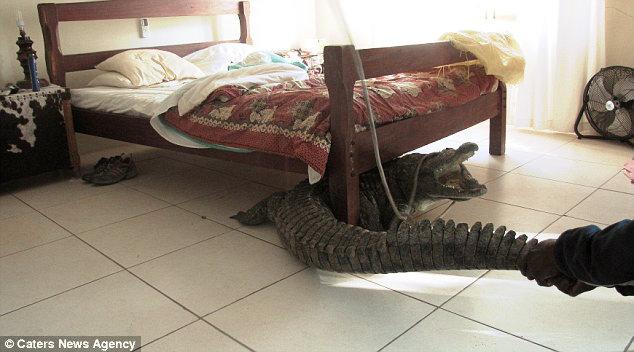 A colazione con il coccodrillo uomo si sveglia e lo trova sotto il letto tuttacronaca - Lo trovi sotto il letto ...