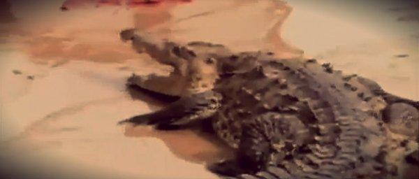 coccodrillo-messico-tuttacronaca