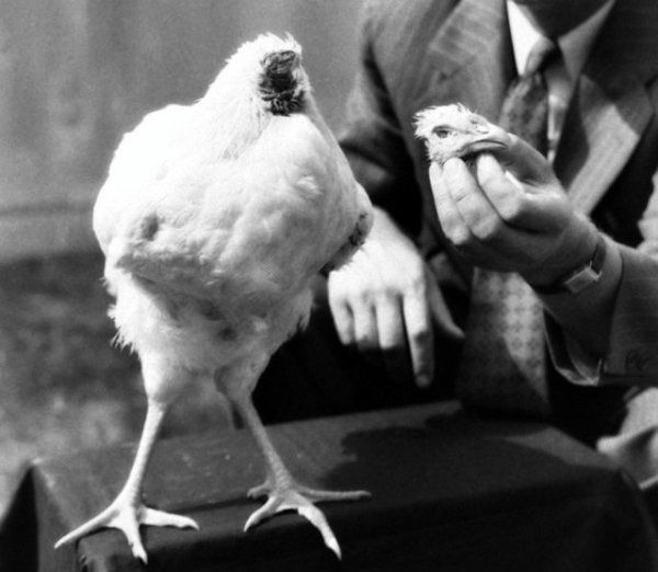 pollo-senza-testa-tuttacronaca