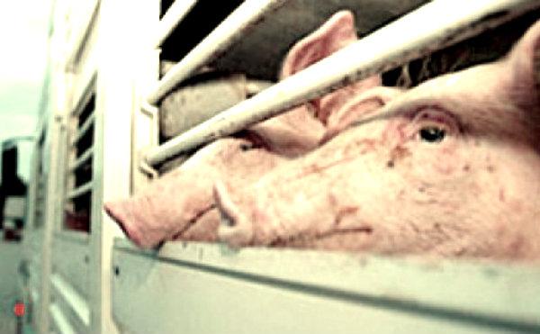 trasporto-animali-vivi-tuttacronaca
