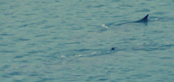balene-portoferraio-tuttacronaca