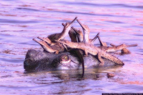 coccodrillo-tuttacronaca