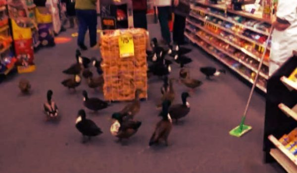 ducks-supermarket-tuttacronaca