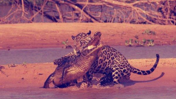 giaguaro-caimano-tuttacronaca