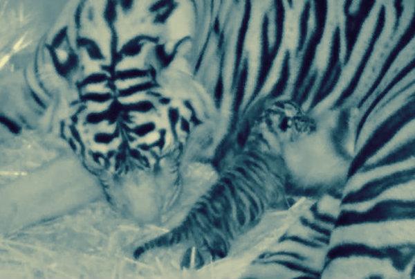 london-zoo-tigre-sumatra-tuttacronaca