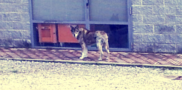lupo-arezzo-tuttacronaca