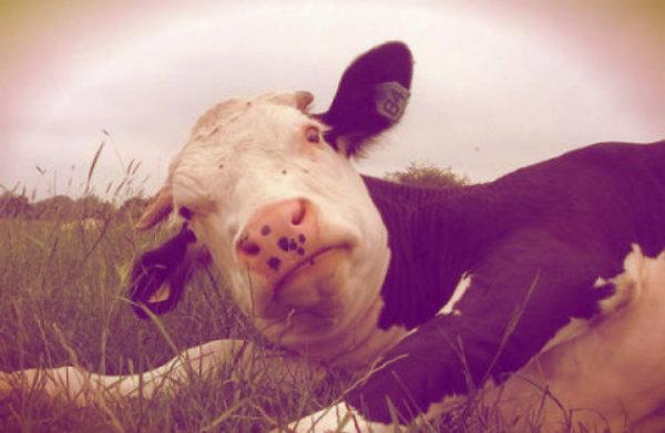 mucca-allevatore-tuttacronaca