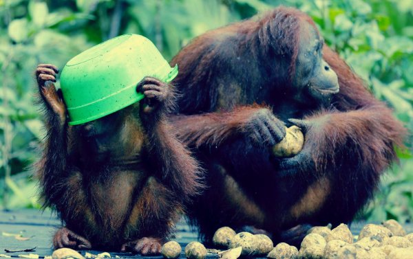 orango_mangiano_patate_dolci-tuttacronaca