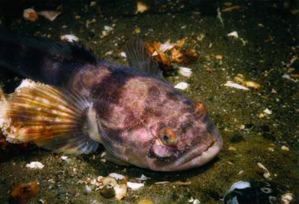 pesce cadetto-tuttacronaca
