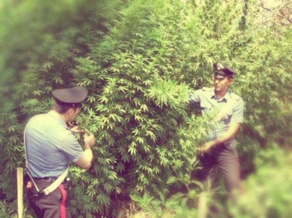 piante-marijuana-tuttacronaca