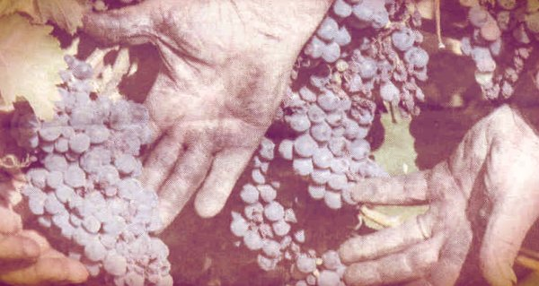 uva-tuttacronaca-mani-