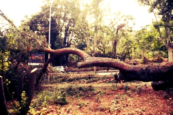 albero-caduto-villa-torlonia-tuttacronaca