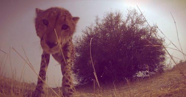 ghepardo-tuttacronaca