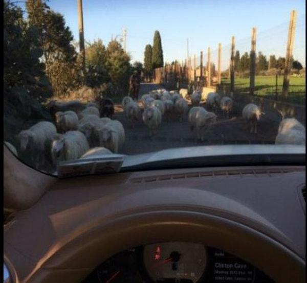 pecore-giocatori-tuttacronaca