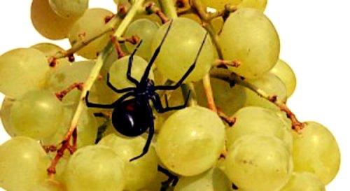 uva-e-ragno-tuttacronaca