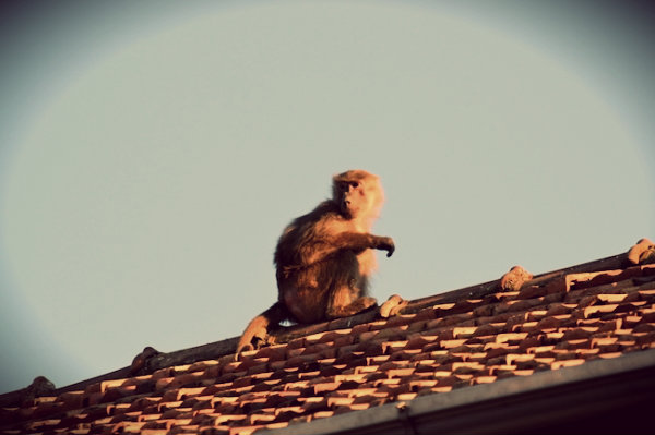 babbuino-fuga-tuttacronaca