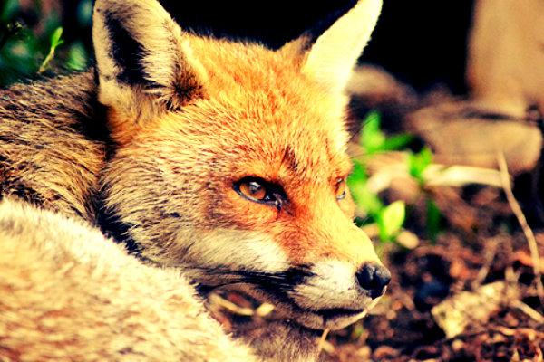 caccia-volpe-tuttacronaca