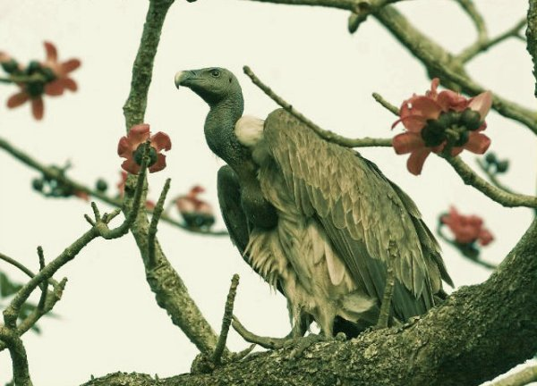 Gyps indicus-tuttacronaca-avvoltoio