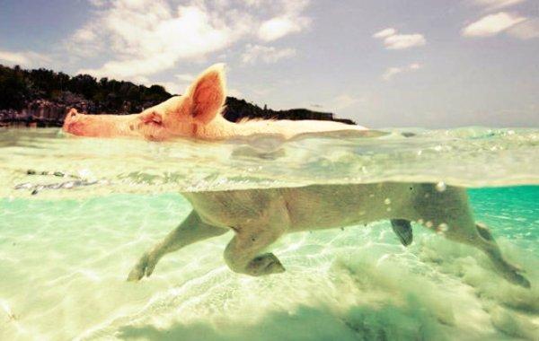 pig-beach-tuttacronaca