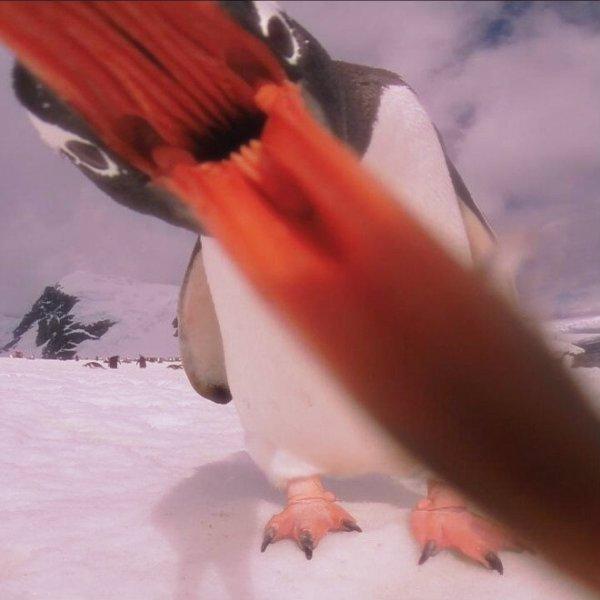 selfie-pinguin-tuttacronaca-pinguino-twitter
