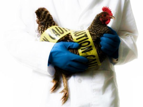 virus-h5n1-influenza-aviaria-nuovo-studio-nature-polemiche-bioterrorismo-italia-tuttacronaca