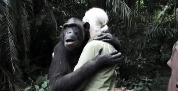 wounda-scimpanzè-tuttacronaca