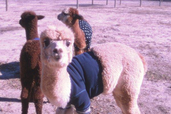 alpaca-maglione-tuttacronaca